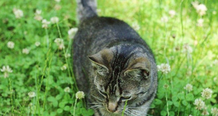 Muitos gatos adoram brincar no jardim, mas os cravos devem estar fora do alcance