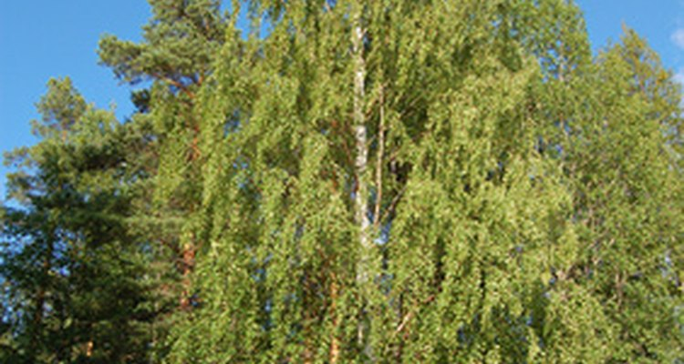 Silver birch trees causes hay fever reactions in some people.