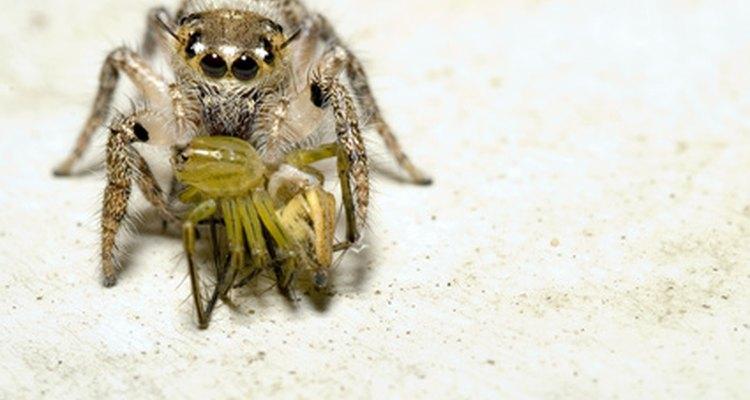 As aranhas-saltadoras, muitas vezes encontradas nas paredes externas de casas e outras estruturas, fazem outras aranhas de presa