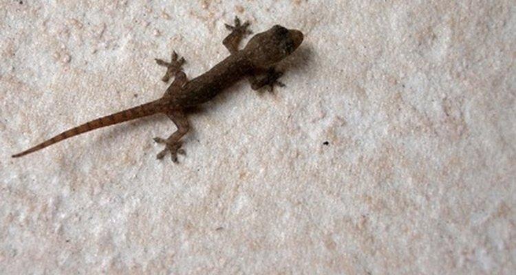 Aunque son relativamente inofensivos, los geckos pueden ser un invitado aterrador y molesto para las personas que preferirían que se quedaran afuera.