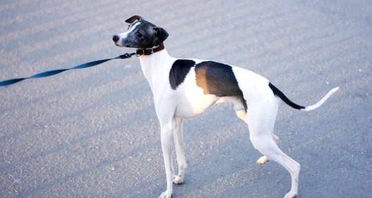 Los perros que tiran en contra de su correa pueden estar lidiando con estornudos inversos.