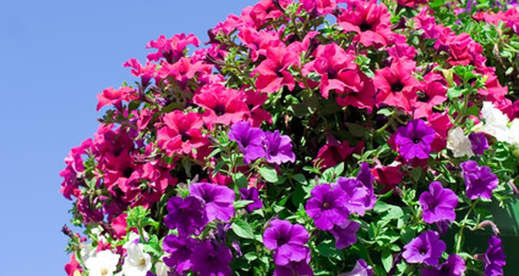 The beautiful colours of these petunias' corollas attract attention, fulfilling their function of enticing pollinators.