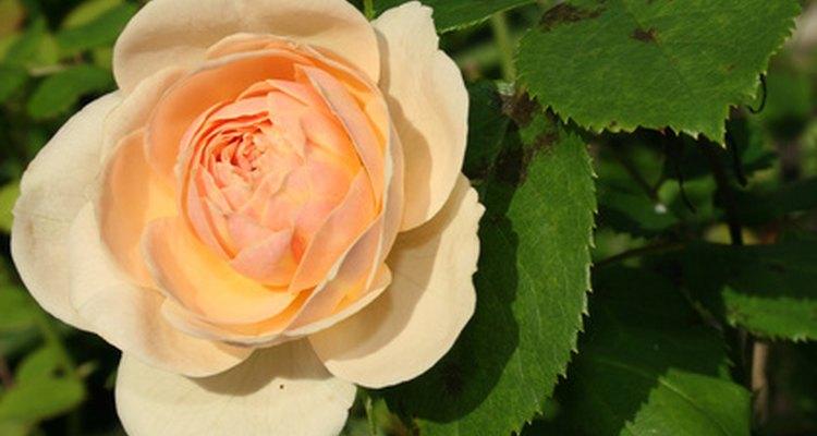 Los rosales miniatura.
