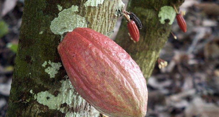 El descubrimiento del cacao