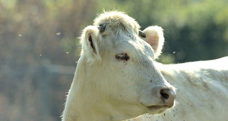Los científicos de animales agrícolas trabajan con animales de granja.