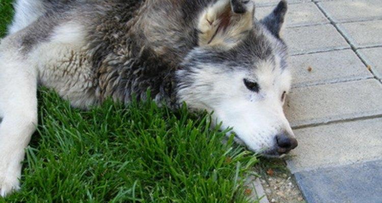 Um Huskie Siberiano com diarreia não são como eles costumam ser