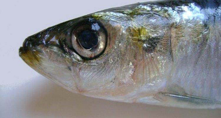 Sardinhas são prateadas e ricas em gordura, da mesma forma que as anchovas