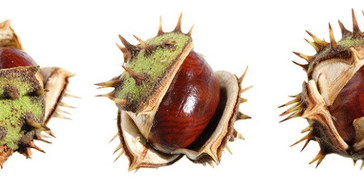 El conker es la nuez dura dentro de la concha dentada.