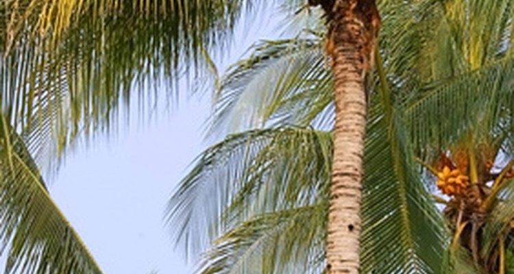 Os coqueiros precisam de clima quente e úmido bem como de solo arenoso