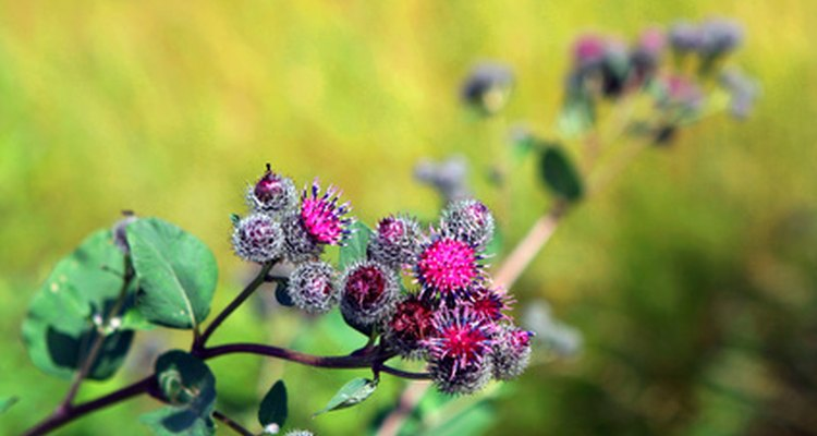 Burdock blooms in lavendar or pink before the flowers turn to sticky burrs.