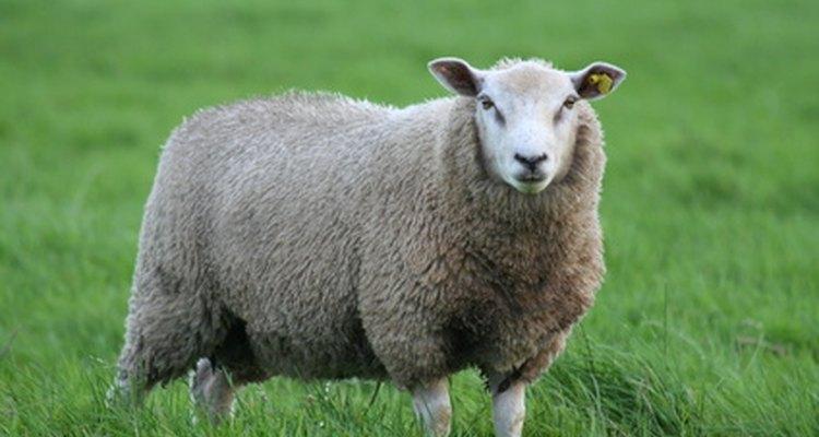 La lana se hace a partir de la piel de las ovejas.