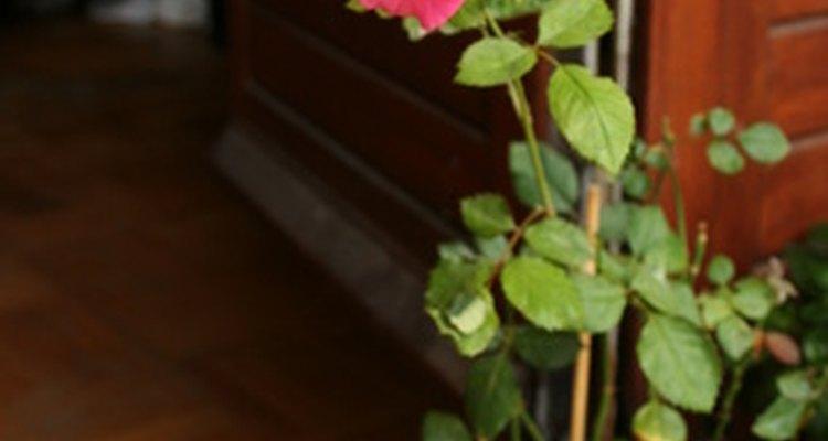 Hay varias variedades de rosas.
