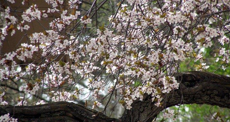 Identifing Fruit Tree Blossoms