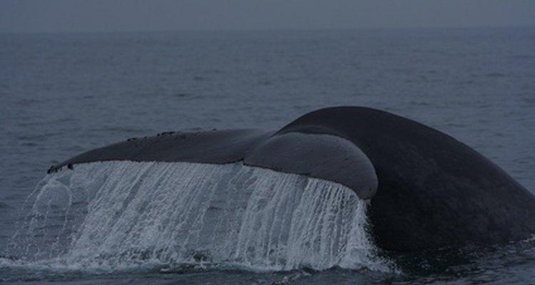 Las ballenas azules necesitan protección.