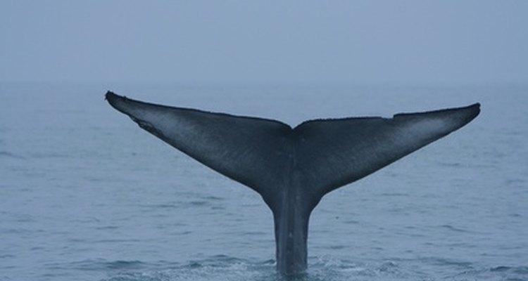 La ballena azul es el animal más grande del planeta.