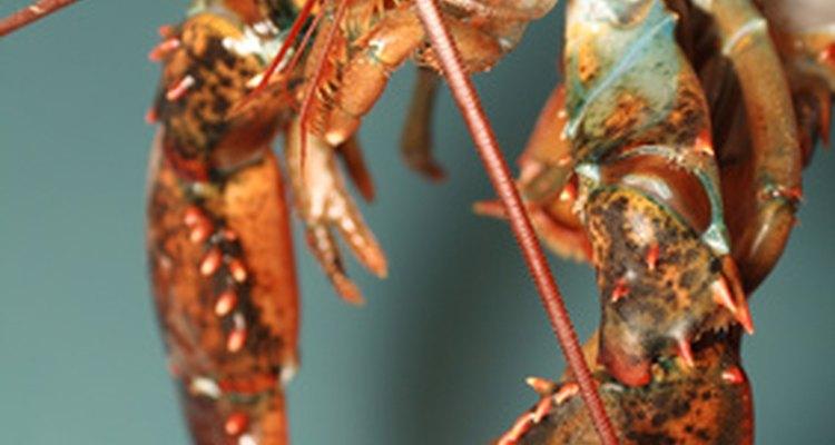 Familiares y disponibles al momento, el tamaño de las langostas hace que sea sencillo identificar las características de los crustáceos.