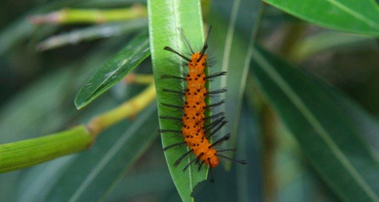 Los ácaros, las cochinillas y las escamas, frecuentan las plantas de palma de sagú.