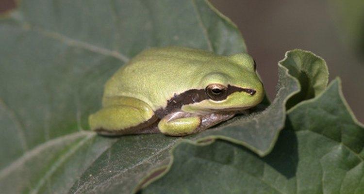 En general, las ranas tienen una piel más suave que los sapos.