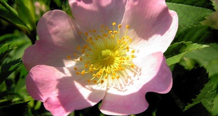 As rosas possuem necessidades específicas e as suas folhas caem, caso não sejam atendidas