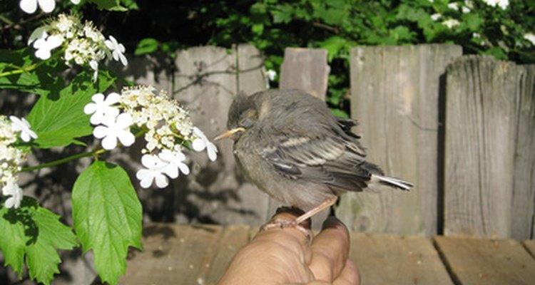 Os pássaros fazem uma variedade de sons, incluindo músicas, assobios, chamadas e gorgeios