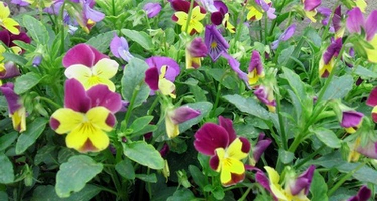 Pansies tolerate cold weather.