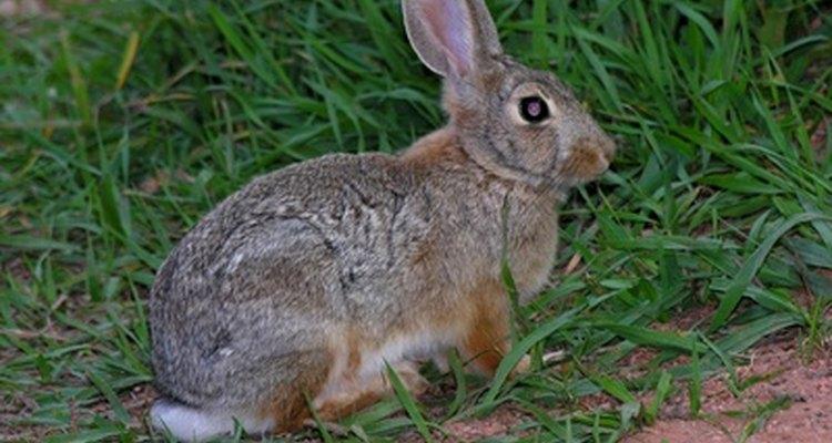Espirrar é um sinal de uma alergia a coelho