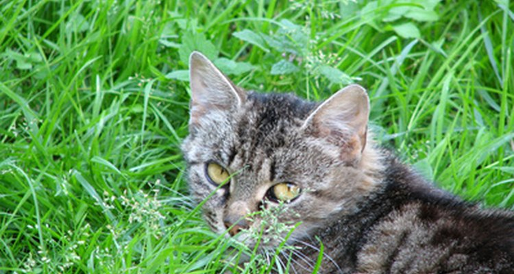 Cats can develop cancer in any organ in the body.