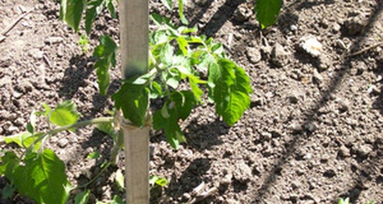 Los frijoles son un cultivo popular en el verano.