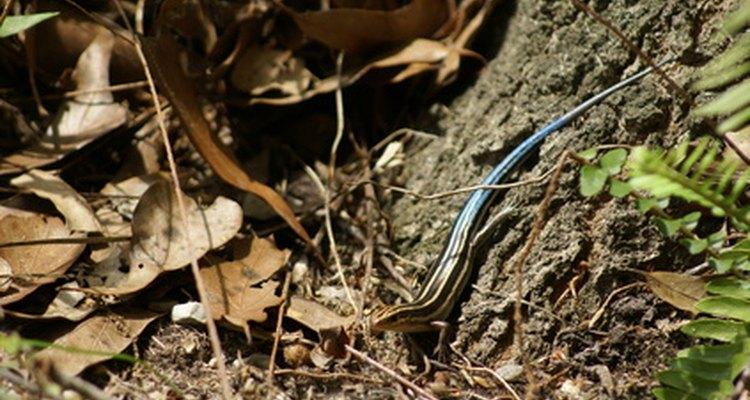 Las colas de lagartija que se han desprendido del cuerpo siguen temblando y moviéndose para llamar la atención de los depredadores.