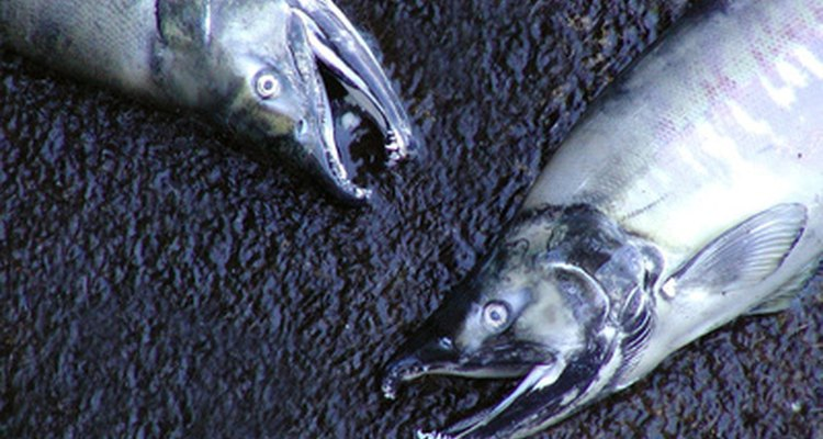 O salmão é apreciado no mundo todo por causa de sua resistência e seu sabor delicado