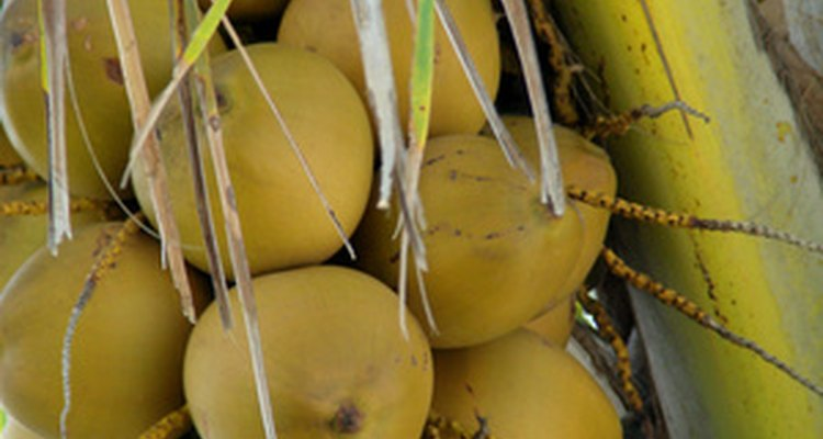 Os coqueiros têm uma raiz fibrosa que suga água da superfície do solo