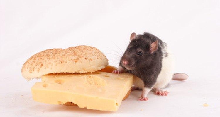 A nutrição adequada mantém seu rato saudável e feliz