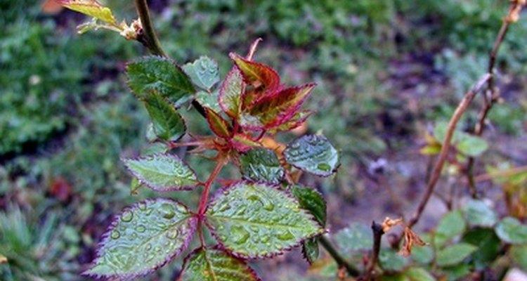 El daño que las abejas cortadoras le hacen a las hojas de los rosales no matan a la planta.