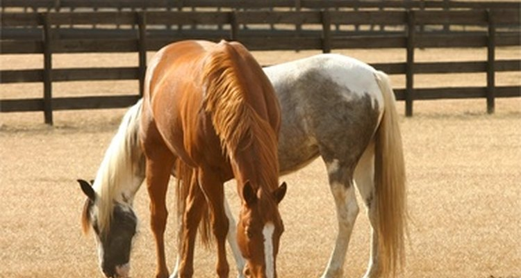 Horses are susceptible to the common cold.