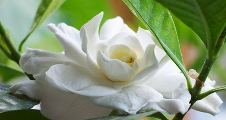 Las gardenias son flores blancas y de un aroma dulce.