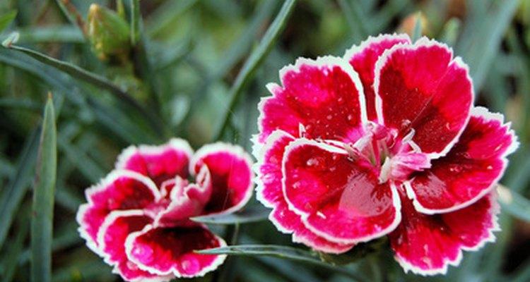 Alpinos rosas são nativos apenas da Romênia.