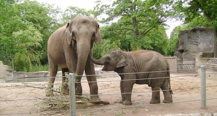 As diferenças genéticas entre elefantes asiáticos e africanos é tanta, que as duas espécias não podem acasalar