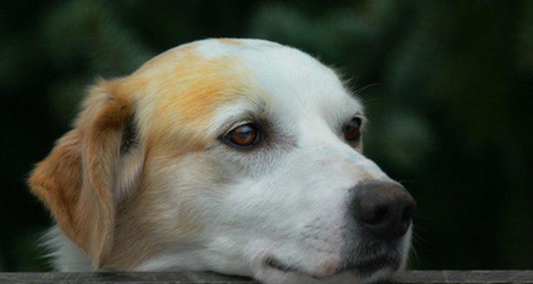 Os cães também podem ser tratados com leite de magnésio para aliviar a constipação