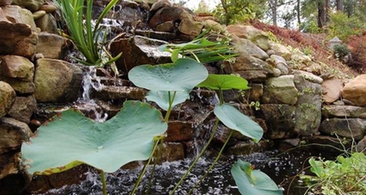 Los estanques en patios traseros pueden proporcionar un buen ambiente para el lirio acuático.