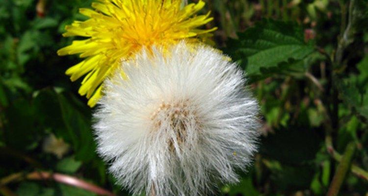 Los diente de león en dos estadíos de su crecimiento, creciendo como quieren en el jardín.