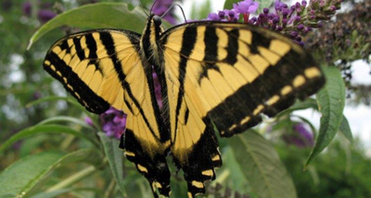 Ambas mariposas son de color naranja oscuro.