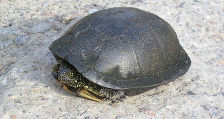 A tartaruga é considerada uma criatura mágica
