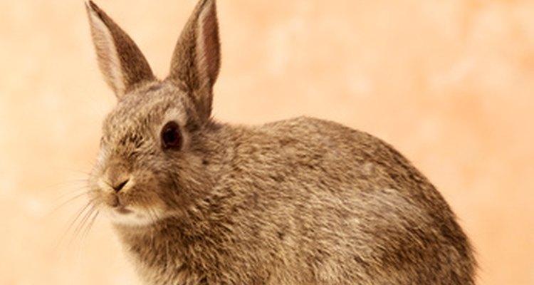 A coriza é o sinal de que algo está errado com o coelho