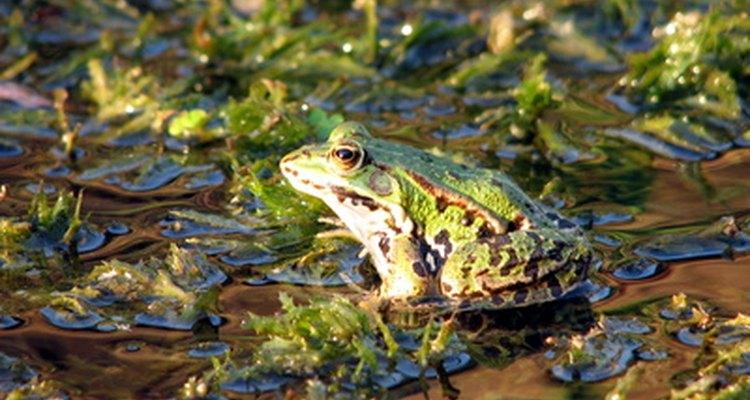 Las ranas verdes se asemejan a las ranas toro.