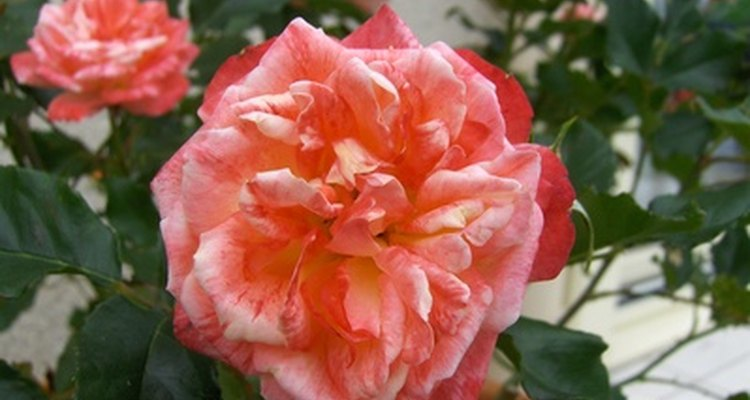 Polyantha bushes display flushes of blooms continuously all season.