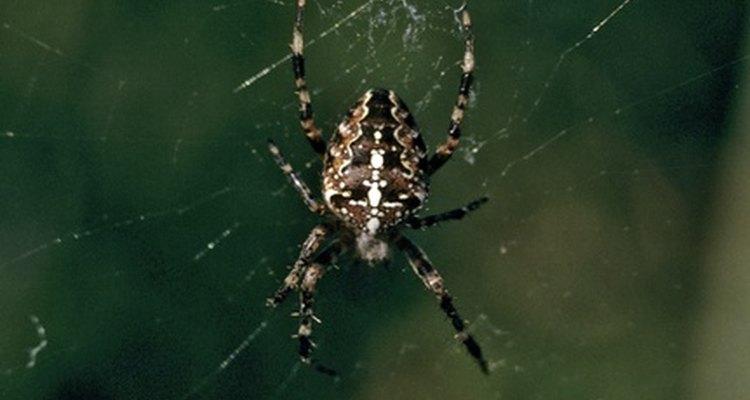 As picadas de aranha são comuns entre os cães, especialmente no verão