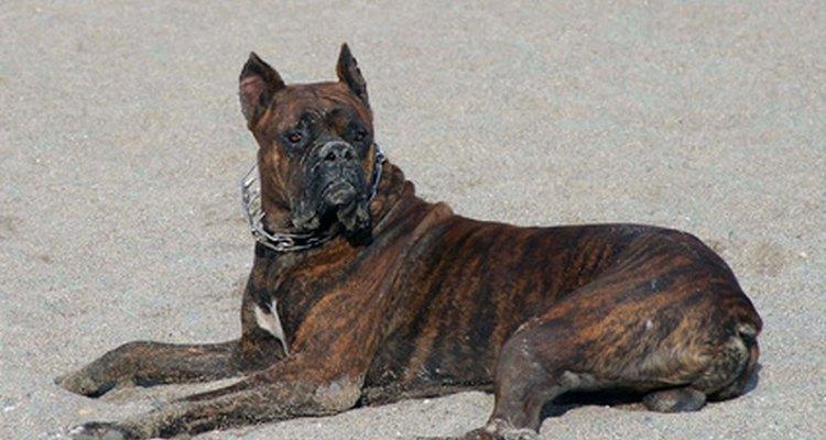 La enfermedad de Cushing canina es una de las responsables de la pérdida de pelo.