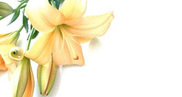 Existe cierta controversia en donde se discute si la flor efectivamente es de lis o un lirio.