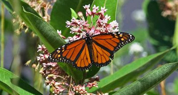 Swamp milkweed attracts butterflies and is a good choice for planting near ponds.