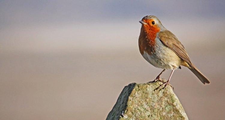 El petirrojo se despierta temprano y es una de las aves que cantan más temprano al alba.